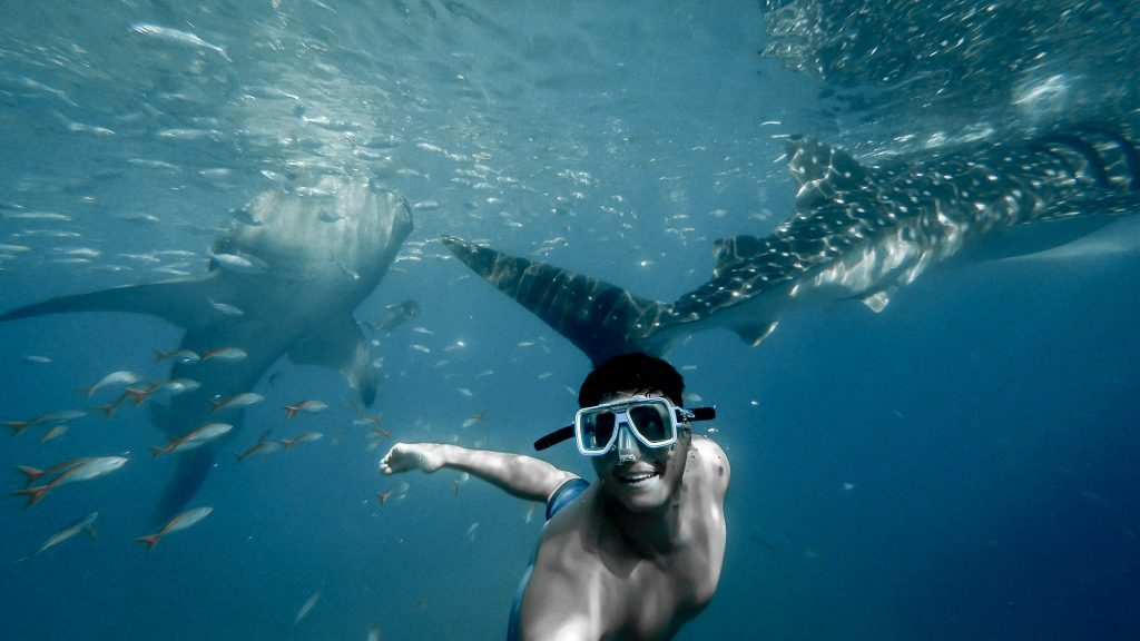 snorkeler swimming with the whale sharks - animal encounters
