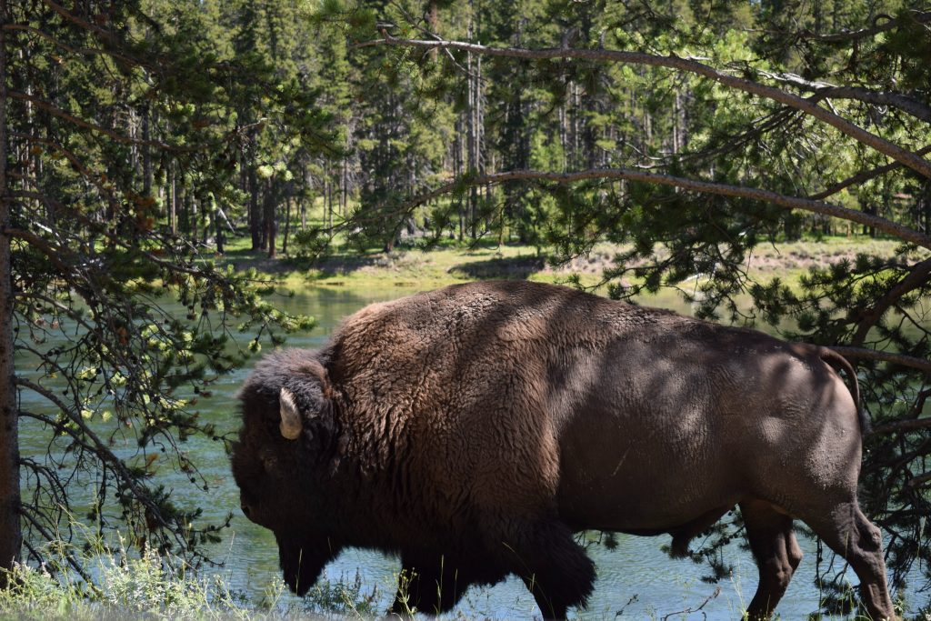 animal encounter with buffalo in Yellowstone National Park, WY